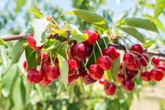 Cosecha de cerezas fresca en el árbol Imagen de archivo libre de regalías