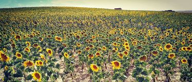 Cosecha de girasoles stock images