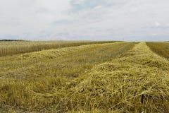 Cosecha de grano Imagenes de archivo
