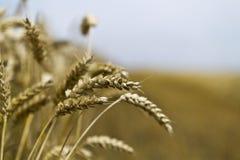 Cosecha de grano imagen de archivo libre de regalías