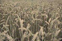 Cosecha de grano fotos de archivo