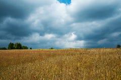 Cosecha de grano de oro en la sol de julio Imagen de archivo