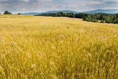 Cosecha de grano de oro en la sol de julio Fotos de archivo libres de regalías