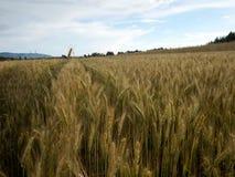Cosecha de grano de oro en la sol de julio Foto de archivo libre de regalías