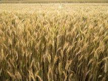 Cosecha de grano de oro en la sol de julio Fotografía de archivo libre de regalías