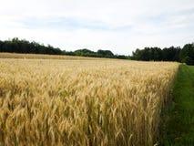 Cosecha de grano de oro en la sol de julio Imágenes de archivo libres de regalías