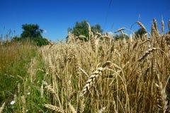 Cosecha de grano del trigo en paisaje del campo de trigo foto de archivo