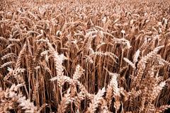 Cosecha de grano - otoño fotografía de archivo