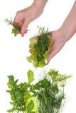 Cosecha de hierbas vegetales verdes Fotografía de archivo libre de regalías