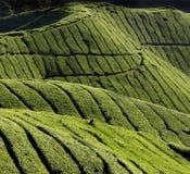 Cosecha de hojas de té Imagen de archivo libre de regalías