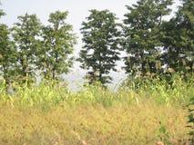 Cosecha de Jwari de la naturaleza Fotos de archivo