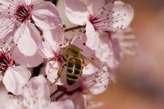Cosecha de la abeja de la miel Imágenes de archivo libres de regalías