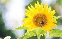 Cosecha de la abeja en la floración del girasol en fondo del bokeh de la falta de definición Imagen de archivo