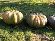 Cosecha de la calabaza Calabazas de Víspera de Todos los Santos Fondo rústico rural del otoño con el tuétano vegetal Foto de archivo