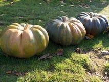 Cosecha de la calabaza Calabazas de Víspera de Todos los Santos Fondo rústico rural del otoño con el tuétano vegetal Foto de archivo libre de regalías