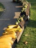 Cosecha de la calabaza Calabazas de Víspera de Todos los Santos Fondo rústico rural del otoño con el tuétano vegetal Imagen de archivo