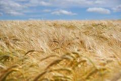 Cosecha de la cebada del verano Imagen de archivo libre de regalías