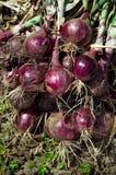 Cosecha de la cebolla roja Foto de archivo