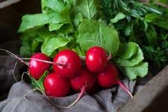 Cosecha de la comida orgánica sana de la nutrición de los rábanos naturales frescos Fotos de archivo