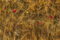 Cosecha de la cosecha Foto de archivo libre de regalías
