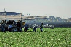Cosecha de la cosecha de la lechuga Imagen de archivo