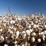 Cosecha de la cosecha del algodón Fotografía de archivo libre de regalías