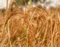 Cosecha de la cosecha del arroz Imagen de archivo libre de regalías