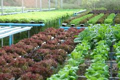 Cosecha de la ensalada en la granja del sistema del hidrocultivo para la agricultura y el concepto del vegetariano fotografía de archivo libre de regalías