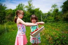 Cosecha de la fresa Foto de archivo libre de regalías