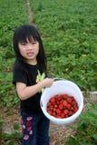 Cosecha de la fresa de la chica joven Fotos de archivo libres de regalías