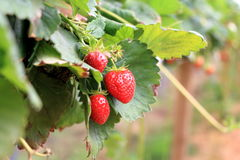 Cosecha de la fresa del invernadero Imagen de archivo