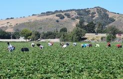 Cosecha de la fresa en California central Foto de archivo