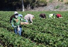 Cosecha de la fresa en California central Fotos de archivo libres de regalías