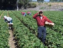 Cosecha de la fresa en California central fotografía de archivo
