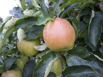 Cosecha de la fruta Fotografía de archivo