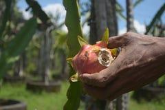 Cosecha de la fruta del dragón Imagen de archivo libre de regalías