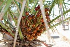 Cosecha de la fruta de la palma, mirada ascendente Malta del cierre imagen de archivo