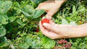 Cosecha de la mano de fresas en el jardín almacen de video