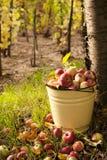 cosecha de la manzana Imagen de archivo