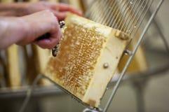 Cosecha de la miel fresca de la colmena de la abeja Imagen de archivo
