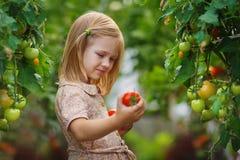 Cosecha de la muchacha y del tomate Fotografía de archivo libre de regalías