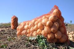 Cosecha de la patata Foto de archivo libre de regalías
