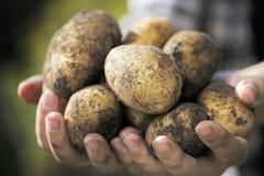 Cosecha de la patata Foto de archivo