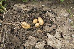 Cosecha de la patata Imagen de archivo libre de regalías