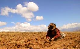 Cosecha de la patata en los Andes Foto de archivo libre de regalías