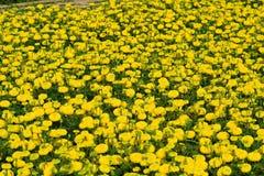 Cosecha de la primavera del éxito con la flor de la margarita Foto de archivo libre de regalías