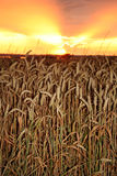 Cosecha de la puesta del sol fotografía de archivo