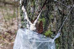Cosecha de la savia del abedul en un bosque de la primavera Fotos de archivo