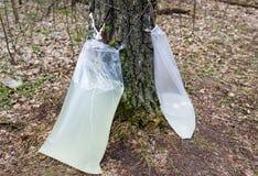 Cosecha de la savia del abedul en un bosque de la primavera Imagenes de archivo