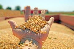 Cosecha de la soja Imagen de archivo libre de regalías